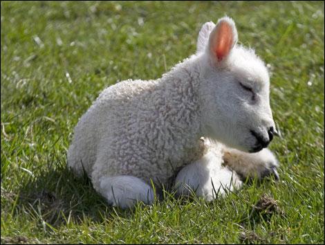 27-lamb