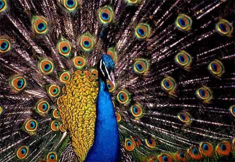 Peacock1221935523